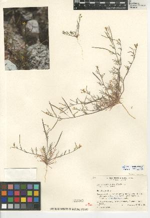 (Tropidocarpum - CCDB-24938-E01)  @11 [ ] CreativeCommons - Attribution Non-Commercial Share-Alike (2015) SDNHM San Diego Natural History Museum