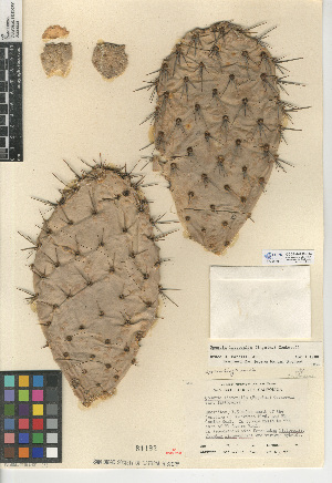 (Opuntia littoralis - CCDB-24938-E04)  @11 [ ] CreativeCommons - Attribution Non-Commercial Share-Alike (2015) SDNHM San Diego Natural History Museum