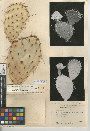 (Opuntia X vaseyi - CCDB-24938-F05)  @11 [ ] CreativeCommons - Attribution Non-Commercial Share-Alike (2015) SDNHM San Diego Natural History Museum