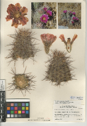 (Echinocereus - CCDB-24938-G03)  @11 [ ] CreativeCommons - Attribution Non-Commercial Share-Alike (2015) SDNHM San Diego Natural History Museum