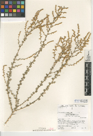 (Atriplex undulata - CCDB-24939-A05)  @11 [ ] CreativeCommons - Attribution Non-Commercial Share-Alike (2015) SDNHM San Diego Natural History Museum