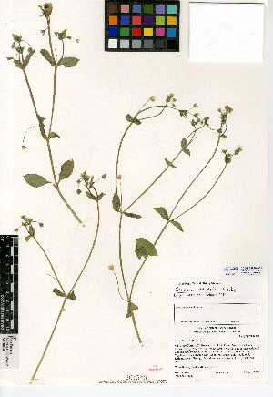 (Stellaria neglecta - CCDB-24939-B01)  @11 [ ] CreativeCommons - Attribution Non-Commercial Share-Alike (2015) SDNHM San Diego Natural History Museum