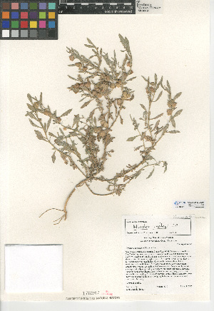 (Atriplex lindleyi - CCDB-24939-D04)  @11 [ ] CreativeCommons - Attribution Non-Commercial Share-Alike (2015) SDNHM San Diego Natural History Museum