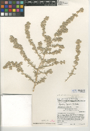 (Atriplex canescens var. linearis - CCDB-24939-E03)  @11 [ ] CreativeCommons - Attribution Non-Commercial Share-Alike (2015) SDNHM San Diego Natural History Museum