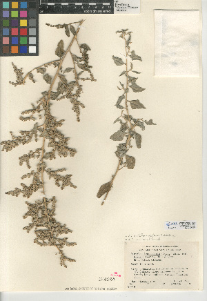 (Atriplex lentiformis - CCDB-24939-F04)  @11 [ ] CreativeCommons - Attribution Non-Commercial Share-Alike (2015) SDNHM San Diego Natural History Museum