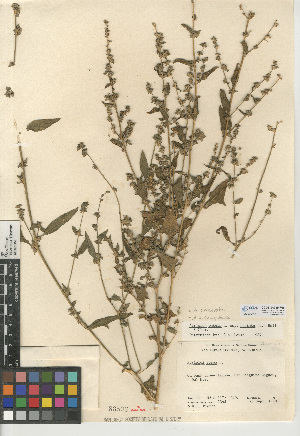 (Atriplex prostrata - CCDB-24939-F05)  @11 [ ] CreativeCommons - Attribution Non-Commercial Share-Alike (2015) SDNHM San Diego Natural History Museum