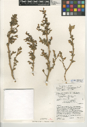(Chenopodium macrospermum - CCDB-24939-F07)  @11 [ ] CreativeCommons - Attribution Non-Commercial Share-Alike (2015) SDNHM San Diego Natural History Museum
