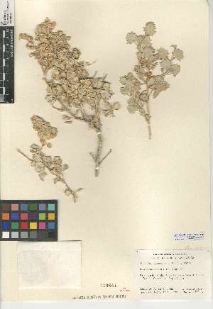(Atriplex hymenelytra - CCDB-24939-H04)  @11 [ ] CreativeCommons - Attribution Non-Commercial Share-Alike (2015) SDNHM San Diego Natural History Museum