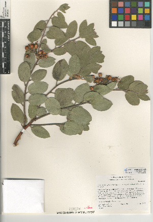 (Arctostaphylos glandulosa subsp. cushingiana - CCDB-24940-A08)  @11 [ ] CreativeCommons - Attribution Non-Commercial Share-Alike (2015) SDNHM San Diego Natural History Museum