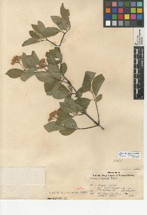 (Cornus glabrata - CCDB-24940-B02)  @11 [ ] CreativeCommons - Attribution Non-Commercial Share-Alike (2015) SDNHM San Diego Natural History Museum