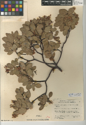 (Arctostaphylos patula - CCDB-24940-B09)  @11 [ ] CreativeCommons - Attribution Non-Commercial Share-Alike (2015) SDNHM San Diego Natural History Museum