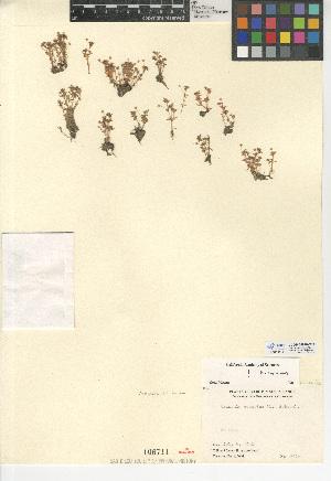 (Crassula aquatica - CCDB-24940-C03)  @11 [ ] CreativeCommons - Attribution Non-Commercial Share-Alike (2015) SDNHM San Diego Natural History Museum