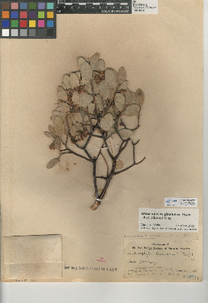 (Arctostaphylos glandulosa subsp. adamsii - CCDB-24940-C08)  @11 [ ] CreativeCommons - Attribution Non-Commercial Share-Alike (2015) SDNHM San Diego Natural History Museum