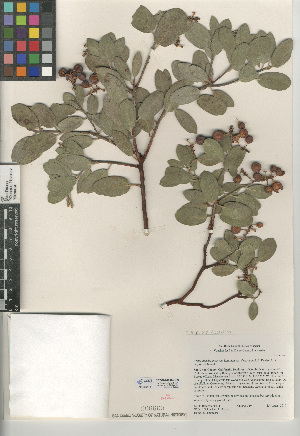 (Arctostaphylos parryana subsp. desertica - CCDB-24940-C09)  @11 [ ] CreativeCommons - Attribution Non-Commercial Share-Alike (2015) SDNHM San Diego Natural History Museum