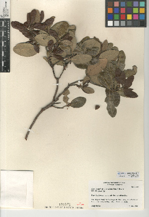 (Comarostaphylis diversifolia subsp. planifolia - CCDB-24940-D10)  @11 [ ] CreativeCommons - Attribution Non-Commercial Share-Alike (2015) SDNHM San Diego Natural History Museum