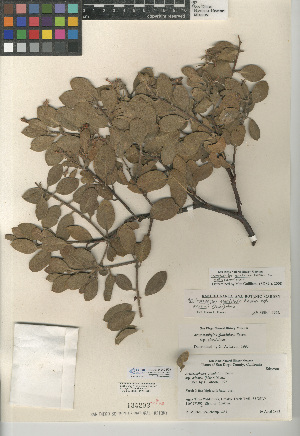 (Arctostaphylos glandulosa subsp. mollis - CCDB-24940-F09)  @11 [ ] CreativeCommons - Attribution Non-Commercial Share-Alike (2015) SDNHM San Diego Natural History Museum
