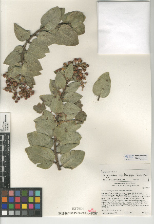 (Arctostaphylos glandulosa - CCDB-24940-G09)  @11 [ ] CreativeCommons - Attribution Non-Commercial Share-Alike (2015) SDNHM San Diego Natural History Museum
