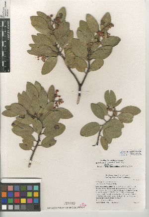 (Arctostaphylos glandulosa subsp. glandulosa - CCDB-24940-H09)  @11 [ ] CreativeCommons - Attribution Non-Commercial Share-Alike (2015) SDNHM San Diego Natural History Museum