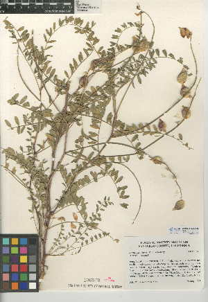 (Astragalus deanei - CCDB-24941-C08)  @11 [ ] CreativeCommons - Attribution Non-Commercial Share-Alike (2015) SDNHM San Diego Natural History Museum