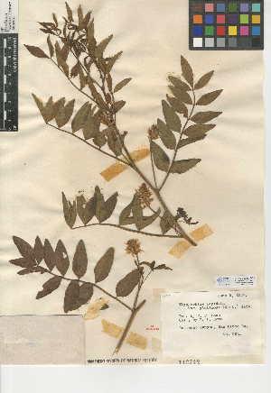 (Glycyrrhiza lepidota - CCDB-24942-G01)  @11 [ ] CreativeCommons - Attribution Non-Commercial Share-Alike (2015) SDNHM San Diego Natural History Museum