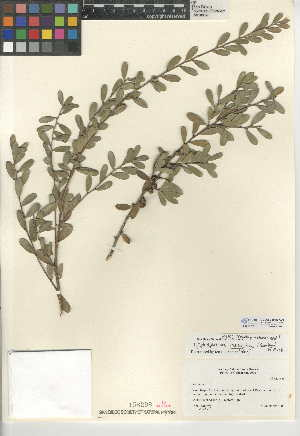 (Leptospermum - CCDB-24945-A06)  @11 [ ] CreativeCommons - Attribution Non-Commercial Share-Alike (2015) SDNHM San Diego Natural History Museum