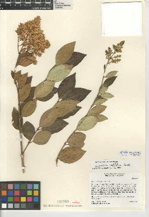 (Ligustrum ovalifolium - CCDB-24945-B10)  @11 [ ] CreativeCommons - Attribution Non-Commercial Share-Alike (2015) SDNHM San Diego Natural History Museum