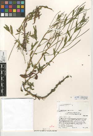 (Epilobium ciliatum - CCDB-24946-A02)  @11 [ ] CreativeCommons - Attribution Non-Commercial Share-Alike (2015) SDNHM San Diego Natural History Museum