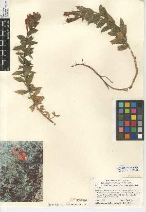 (Epilobium canum subsp. latifolium - CCDB-24946-B02)  @11 [ ] CreativeCommons - Attribution Non-Commercial Share-Alike (2015) SDNHM San Diego Natural History Museum