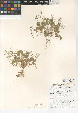 (Oxalis micrantha - CCDB-24946-B09)  @11 [ ] CreativeCommons - Attribution Non-Commercial Share-Alike (2015) SDNHM San Diego Natural History Museum