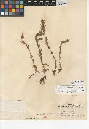 (Epilobium halleanum - CCDB-24946-G03)  @11 [ ] CreativeCommons - Attribution Non-Commercial Share-Alike (2015) SDNHM San Diego Natural History Museum