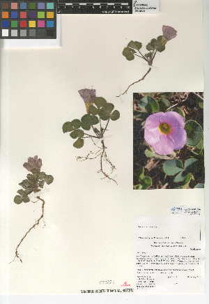 (Oxalis purpurea - CCDB-24946-G10)  @11 [ ] CreativeCommons - Attribution Non-Commercial Share-Alike (2015) SDNHM San Diego Natural History Museum
