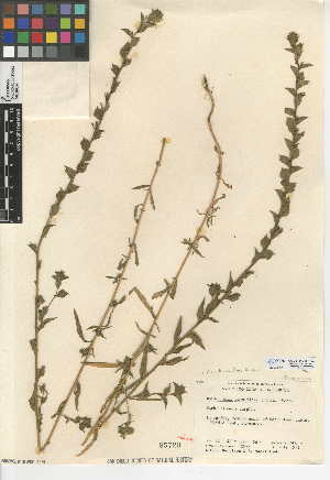 (Epilobium densiflorum - CCDB-24946-H03)  @11 [ ] CreativeCommons - Attribution Non-Commercial Share-Alike (2015) SDNHM San Diego Natural History Museum