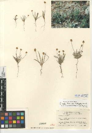 (Plantago ovata var. fastigiata - CCDB-24947-A08)  @11 [ ] CreativeCommons - Attribution Non-Commercial Share-Alike (2015) SDNHM San Diego Natural History Museum