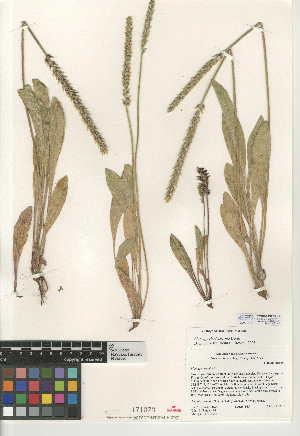 (Plantago rhodosperma - CCDB-24947-E09)  @11 [ ] CreativeCommons - Attribution Non-Commercial Share-Alike (2015) SDNHM San Diego Natural History Museum