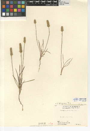 (Plantago patagonica - CCDB-24947-G09)  @11 [ ] CreativeCommons - Attribution Non-Commercial Share-Alike (2015) SDNHM San Diego Natural History Museum