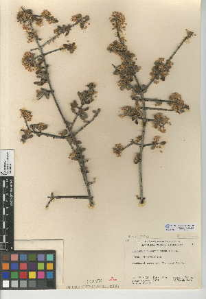 (Ceanothus cuneatus var. cuneatus - CCDB-24949-A10)  @11 [ ] CreativeCommons - Attribution Non-Commercial Share-Alike (2015) SDNHM San Diego Natural History Museum