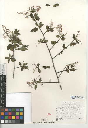 (Ceanothus oliganthus var. sorediatus - CCDB-24949-D11)  @11 [ ] CreativeCommons - Attribution Non-Commercial Share-Alike (2015) SDNHM San Diego Natural History Museum