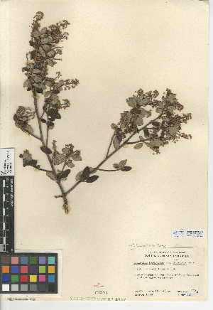 (Ceanothus tomentosus - CCDB-24949-E12)  @11 [ ] CreativeCommons - Attribution Non-Commercial Share-Alike (2015) SDNHM San Diego Natural History Museum