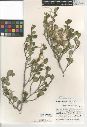 (Cercocarpus - CCDB-24950-E02)  @11 [ ] CreativeCommons - Attribution Non-Commercial Share-Alike (2015) SDNHM San Diego Natural History Museum