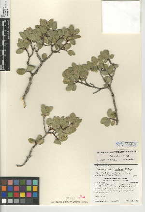 (Rhamnus insula - CCDB-24950-F01)  @11 [ ] CreativeCommons - Attribution Non-Commercial Share-Alike (2015) SDNHM San Diego Natural History Museum