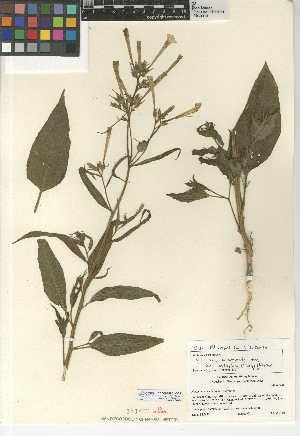 (Nicotiana acuminata var. multiflora - CCDB-24951-B05)  @11 [ ] CreativeCommons - Attribution Non-Commercial Share-Alike (2015) SDNHM San Diego Natural History Museum