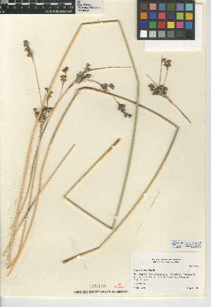 (Juncus cooperi - CCDB-24953-A11)  @11 [ ] CreativeCommons - Attribution Non-Commercial Share-Alike (2015) SDNHM San Diego Natural History Museum