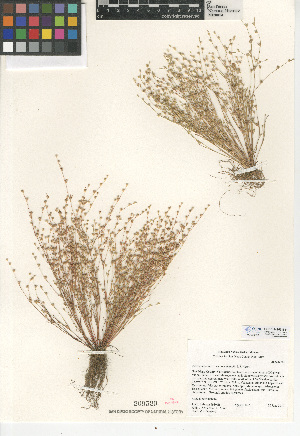 (Juncus bufonius var. occidentalis - CCDB-24953-B11)  @11 [ ] CreativeCommons - Attribution Non-Commercial Share-Alike (2015) SDNHM San Diego Natural History Museum