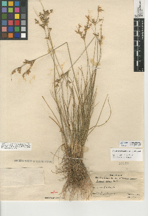 (Juncus occidentalis - CCDB-24953-B12)  @11 [ ] CreativeCommons - Attribution Non-Commercial Share-Alike (2015) SDNHM San Diego Natural History Museum