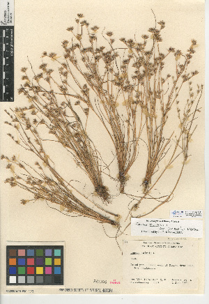 (Juncus bufonius var. congestus - CCDB-24953-C11)  @11 [ ] CreativeCommons - Attribution Non-Commercial Share-Alike (2015) SDNHM San Diego Natural History Museum