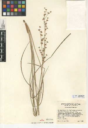 (Juncus macrophyllus - CCDB-24953-D12)  @11 [ ] CreativeCommons - Attribution Non-Commercial Share-Alike (2015) SDNHM San Diego Natural History Museum