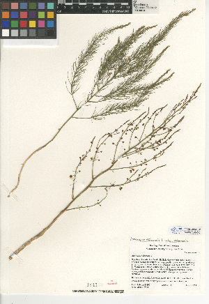 (Asparagus officinalis ssp officinalis - CCDB-24953-F02)  @11 [ ] CreativeCommons - Attribution Non-Commercial Share-Alike (2015) SDNHM San Diego Natural History Museum