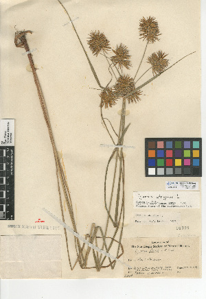 (Juncus arcticus var. mexicanus - CCDB-24953-H07)  @11 [ ] CreativeCommons - Attribution Non-Commercial Share-Alike (2015) SDNHM San Diego Natural History Museum