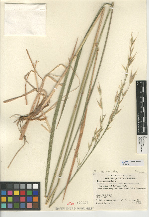 (Bromus carinatus var carinatus - CCDB-24954-A10)  @11 [ ] CreativeCommons - Attribution Non-Commercial Share-Alike (2015) SDNHM San Diego Natural History Museum