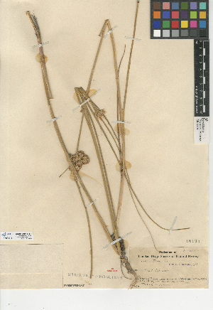 (Juncus torreyi - CCDB-24954-B01)  @11 [ ] CreativeCommons - Attribution Non-Commercial Share-Alike (2015) SDNHM San Diego Natural History Museum